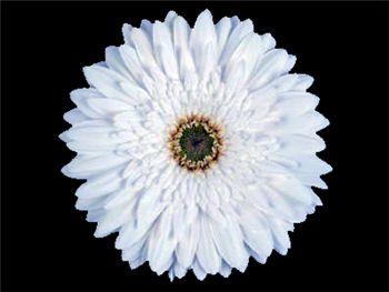 Victoria Asteraceae