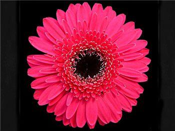 Whisper Asteraceae