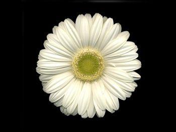 White Asteraceae