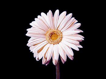 White Sensation Asteraceae