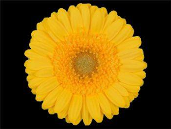 Yes Asteraceae