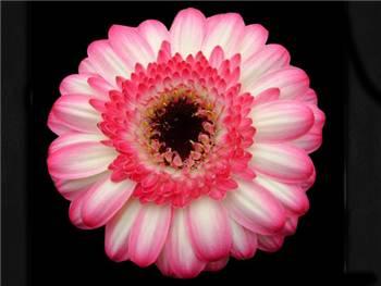 Zazu Asteraceae