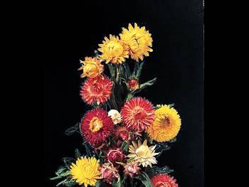 Assorted Asteraceae