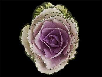 Lavender Brassicaceae