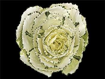 White Brassicaceae