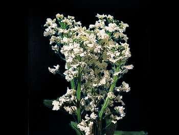 Candy Tuft Brassicaceae