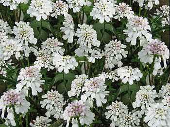 Evergreen Brassicaceae