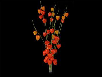 Chinese Lantern Brassicaceae