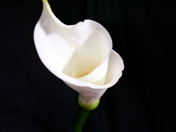 White Calla - Large