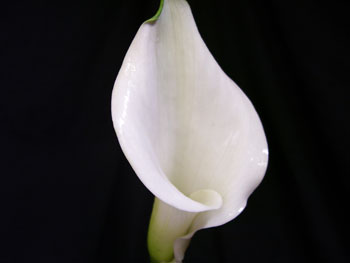 White Calla - Mini