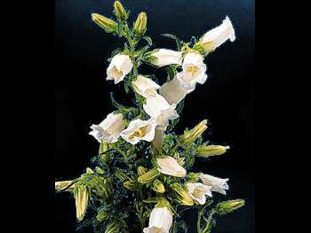 Canterbury White Campanulaceae