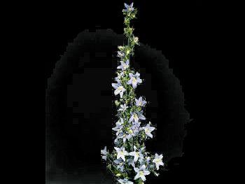 Pyramidalis HFC Campanulaceae