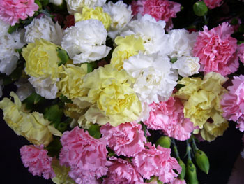 Assorted Carnation - Mini