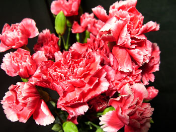 Reverse Peppermint Carnation - Mini