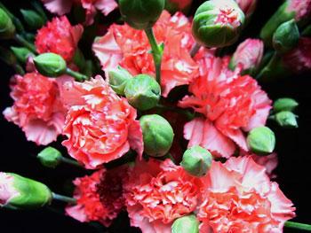 Target Carnation - Mini