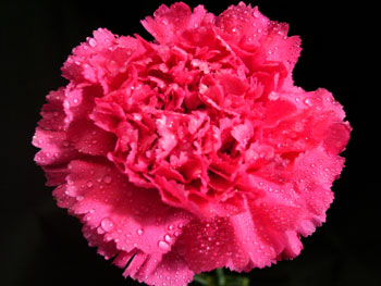 Abracadabra Carnation