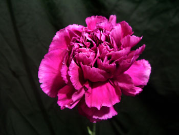 Arevalo Carnation