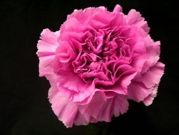 Carola Carnation