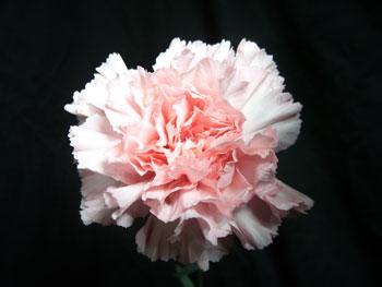Deneuve Carnation