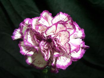 Express Carnation