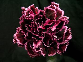 Nobbio Violet Carnation