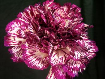 Oasis Carnation