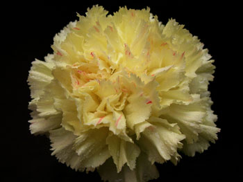 Pallas Carnation