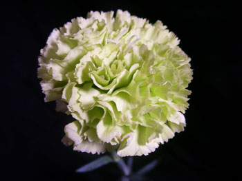 Prado Carnation