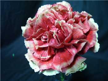 Primero Dark Carnation