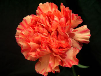 Raggio Di Sole Carnation