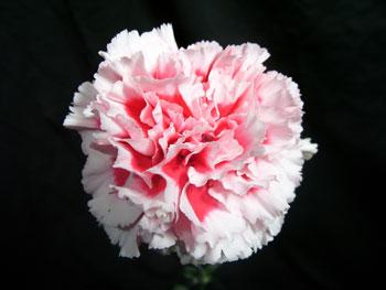 Riffifi Carnation