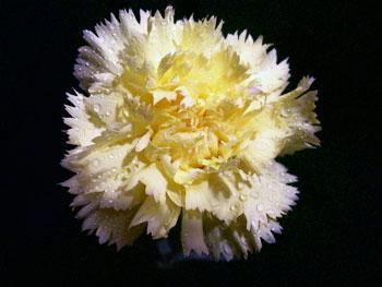 Shine Carnation