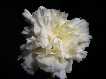 Silk Road Carnation