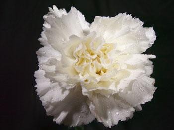 U Conn Sim Carnation
