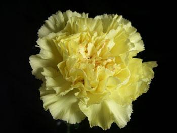 Yellow Candy Carnation