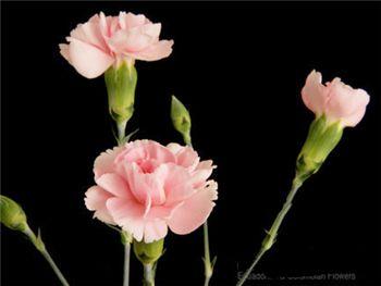 Amant Caryophyllaceae