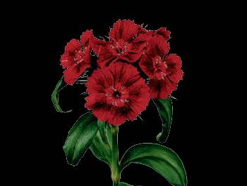 Barbarella Diep Rood HFC Caryophyllaceae