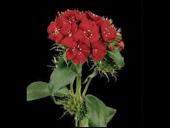 Barbarella Scharlaken HFC Caryophyllaceae