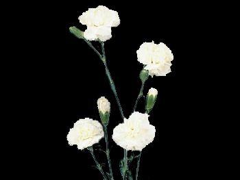Basic HFC Caryophyllaceae