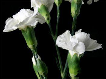 Bolshoi Caryophyllaceae