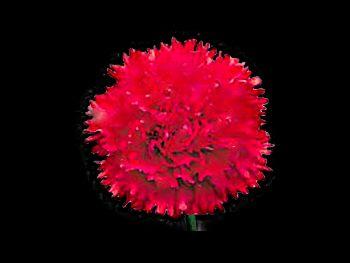 Castelaro Caryophyllaceae