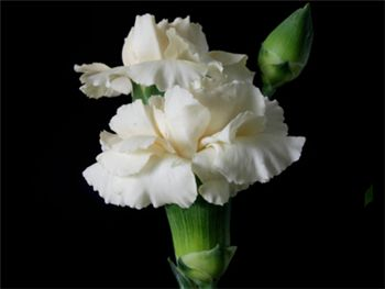 Cream Intermezzo Caryophyllaceae