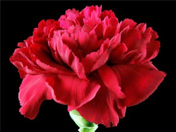 Crimson Tempo Caryophyllaceae