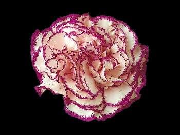 D. Rendez Vous Caryophyllaceae