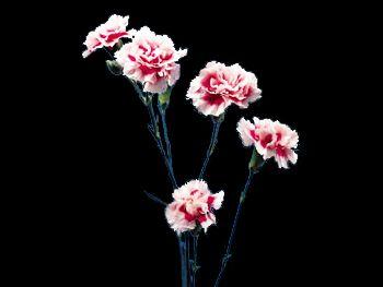 Elegance Caryophyllaceae