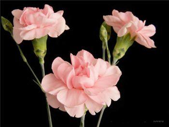 Fleurette Caryophyllaceae