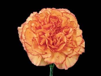 Ivonne Orange Caryophyllaceae