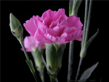 Kortina Chanel Caryophyllaceae