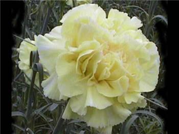 Maiela Caryophyllaceae