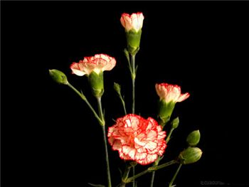 Mini Charlie Caryophyllaceae